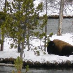 4 - Yellowstone, January 14th (16)