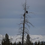 4 - Yellowstone, January 14th (2)
